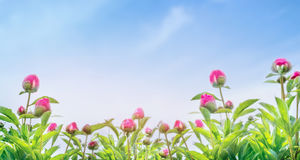 Buds of peony plant on blue sky background, banner for website Stock Image