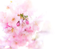 Buds of pink cherry flowers Royalty Free Stock Images