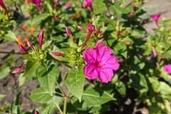 Buds and pink flower of Mirabilis jalapa. Buds and bright pink flower of Mirabilis jalapa Royalty Free Stock Photo