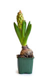 Buds at pink hyacinth Stock Images