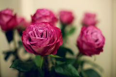 The buds are pink, red roses Royalty Free Stock Photos