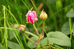 Buds of pink rose Royalty Free Stock Photography