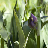 The Buds of purple iris in spring grass. Royalty Free Stock Photo