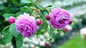 The buds of purple roses. Flowers sway in the wind and drifting to the fore. stock video