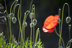 Buds of red poppies Royalty Free Stock Photo