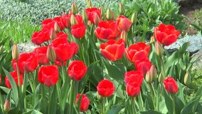 The buds of red tulips with blossoming flowers stock video footage