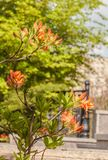 Branch with buds of rhododendron azaleas of orange on a blurre Royalty Free Stock Image