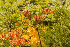 Branch with buds of rhododendron azaleas of orange on a blurre Stock Image