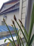Lily buds. Royalty Free Stock Images