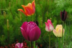 Buds of rose tulips with fresh green leaves in soft lights at blur background with place for your text. Hollands tulip bloom in an stock images