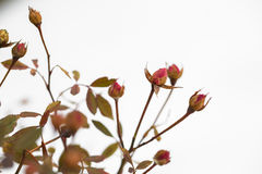 Buds of roses on a background  snow. winter and flowers Royalty Free Stock Photo
