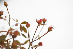Buds of roses on a background  snow. winter and flowers Stock Photography