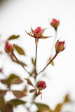 Buds of roses on a background  snow. winter and flowers Stock Images