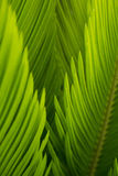 The buds of sago cycas  are so pure and fresh in sunshine. Royalty Free Stock Photo