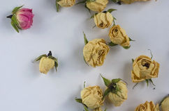 Buds small bright pink roses and one pink Royalty Free Stock Images