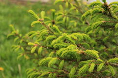 Buds of spruce Stock Image