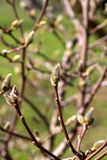 Buds on a tree Stock Photos