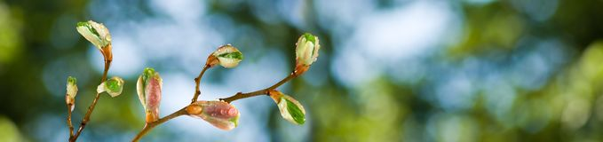 Buds on a tree branch against the sky. Image of buds on a tree branch against the sky royalty free stock photo
