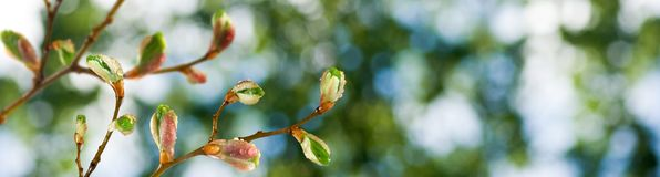 Buds on a tree branch against the sky. Image of buds on a tree branch against the sky royalty free stock image