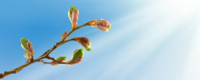 Buds on a tree branch against the sky. Image of buds on a tree branch against the sky stock images