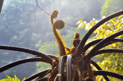 The buds of tree ferns Royalty Free Stock Image