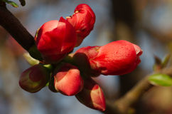 Buds of tree flowers Royalty Free Stock Photo
