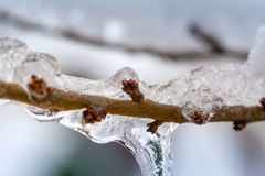 The buds of the tree frozen. In winter ice stock image