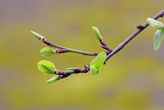 Buds of a tree in springtime Royalty Free Stock Image