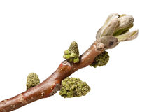 Buds on walnut brunch Royalty Free Stock Images
