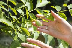 Buds of walnut fruit. Female hands show a young developing fruit on the branch of a walnut tree. Buds of walnut fruit. Female hands show a young developing royalty free stock image