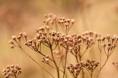 Buds of weed. Dried flower buds of weeds Royalty Free Stock Photo