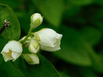 Buds of white flowers. Close-up of buds of white flowers. Place for a text Royalty Free Stock Photography