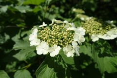 Buds and flowers of Viburnum opulus. Buds and white flowers of Viburnum opulus stock photos
