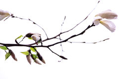 Buds of the white magnolia. On a white background Stock Photography