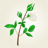 Buds white Rose stem with leaves vintage vector Royalty Free Stock Image