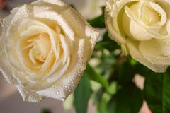 The white roses buds. stock images