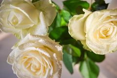 The white roses buds. stock photography
