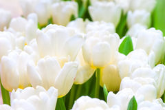 Buds of white tulips closeup Royalty Free Stock Photography