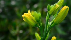 Buds of yellow daylilies wet from rain. Yellow daylily buds wet from rain stock video