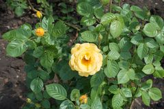 Buds and yellow flower on rose bush. Buds and yellow flower on the rose bush Royalty Free Stock Photo
