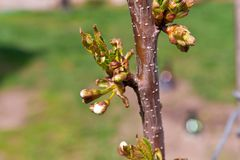 Buds and young leaves on the cherry tree trunk closeup. Tree tex. Ture. Selective focus. Hello April Royalty Free Stock Image