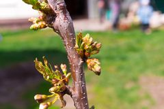 Buds and young leaves on the cherry tree trunk closeup. Tree texture. Selective focus. Hello April.  Stock Image