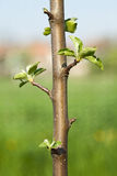 Buds on a young spring apple tree royalty free stock image