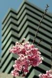 buduje wysokiego wiśniowe kwiaty Zdjęcia Stock