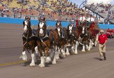Budweiser Clydesdale Horses Team Stock Photo