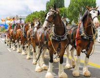 Budweiser Clydesdales получая готовый пройти парадом стоковая фотография