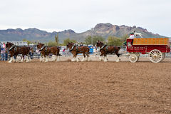 Budweiser Clydesdales. APACHE JUNCTION, AZ - FEBRUARY 26: The Budweiser Clydesdale horses perform at the Lost Dutchman Days rodeo on February 26, 2010 in Apache stock image