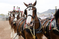 Budweiser Clydesdales. APACHE JUNCTION, AZ - FEBRUARY 26: The Budweiser Clydesdale horses perform at the Lost Dutchman Days rodeo on February 26, 2010 in Apache royalty free stock images