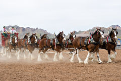 Budweiser Clydesdales Immagine Stock