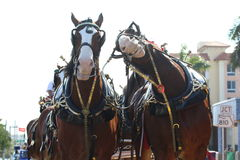 Budweiser Clydesdales Stock Afbeelding